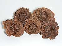 Cedar-Rose.jpg