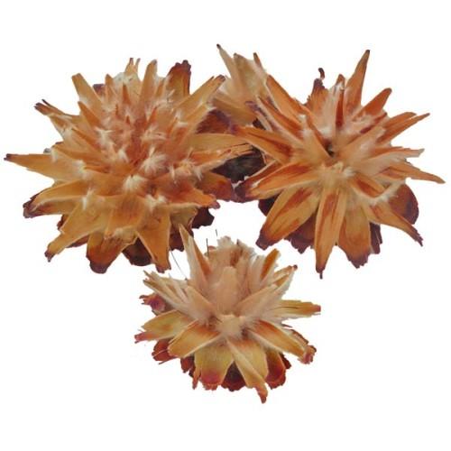 Plumosum Cones